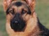 Uno dei cani guida addestrati