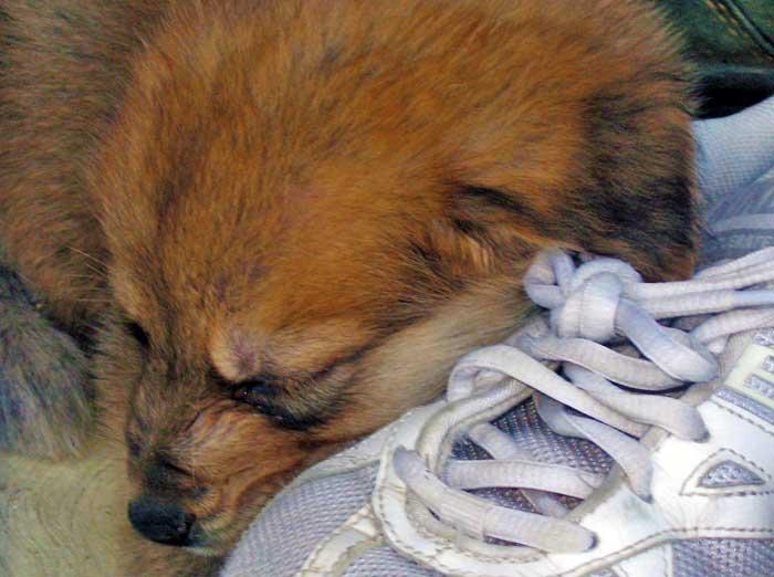 Il cucciolo di cane dorme